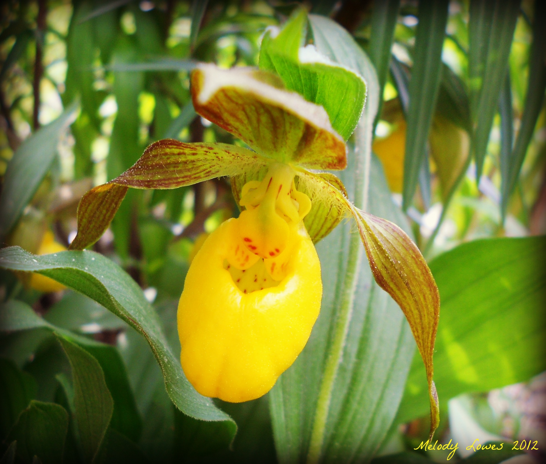 Tiny Elfin Lady's Slipper Meanwhile Melody Muses