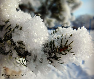 fresh snowflakes spruce
