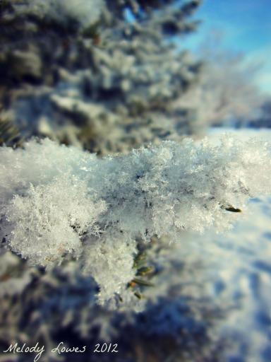 fuzzy hoarfrost spruce