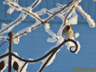 hoarfrostbird