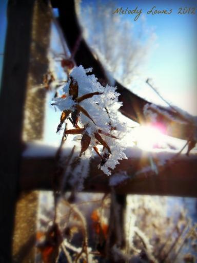 morning frost on trellis