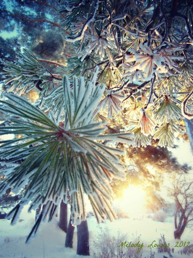 morning glow frosted pine