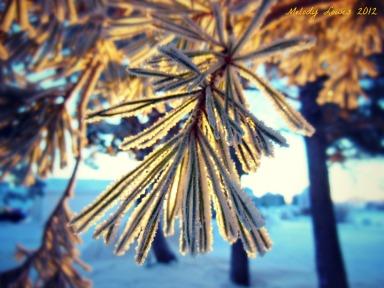 morning glow pine