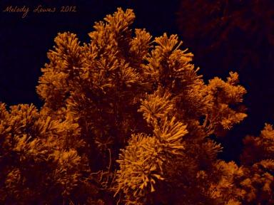 night-time pine