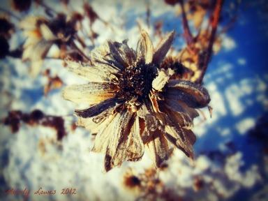 rudbeckia cold