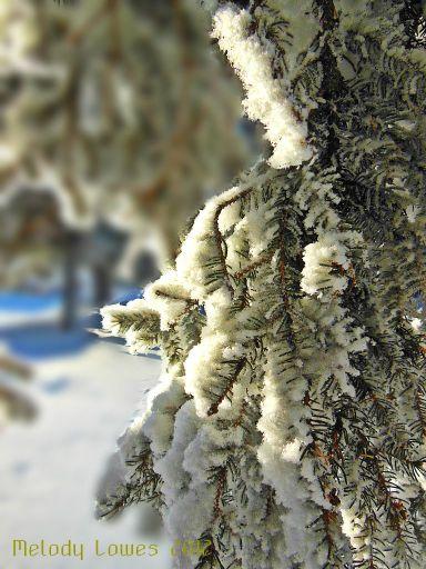 snowysprucebranches