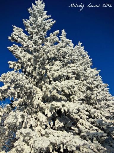 spruce row