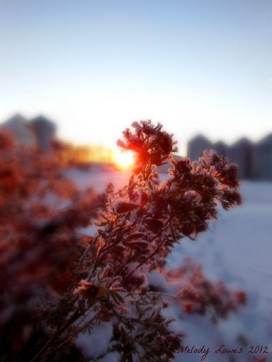sunrise potentilla