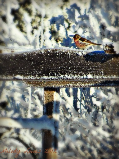 wintry redpoll