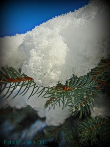 snowybluespruce