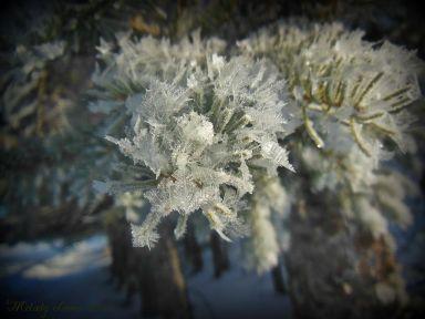hoarfrostspruce.jpg