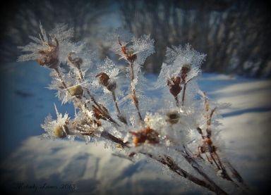 potentillahoarfrost.jpg