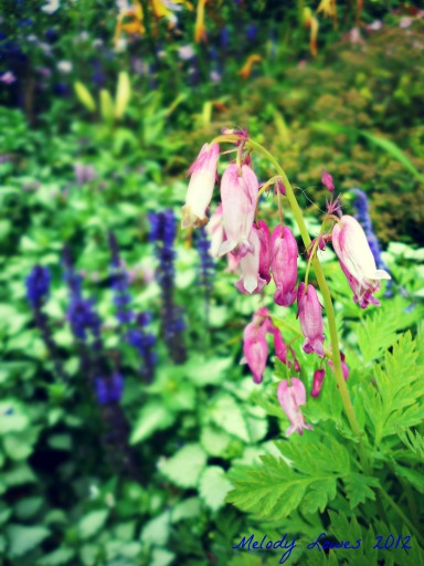 Bleeding Hearts salvia