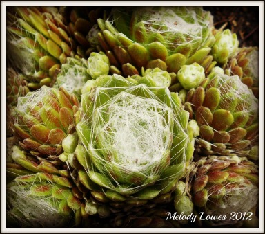 Spider's Web Hens and Chicks