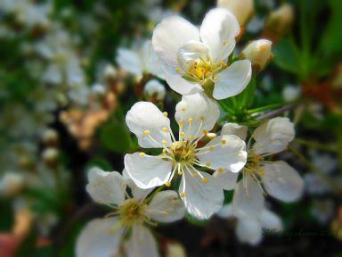 cherryblossoms.jpg