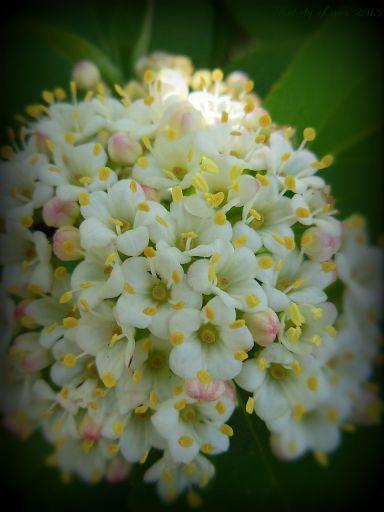 cranberryblossom.jpg