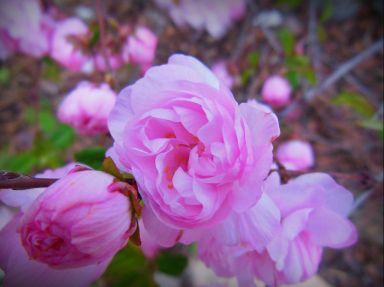 floweringalmond2
