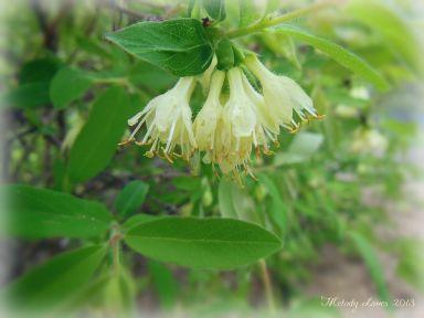 haskapflowers.jpg