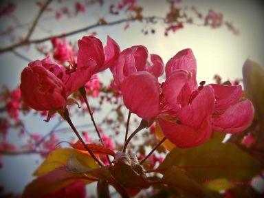 crabappleblossoms.jpg