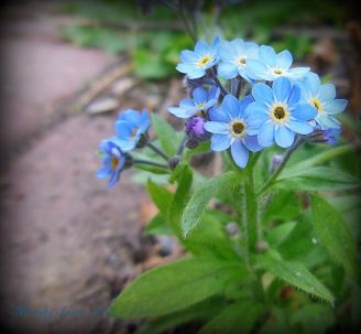 forget-me-notcluster.jpg