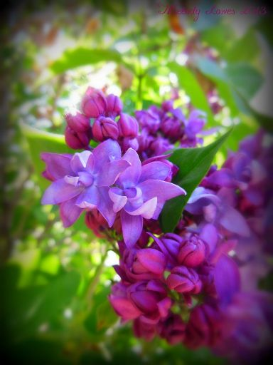 lilacbuds.jpg