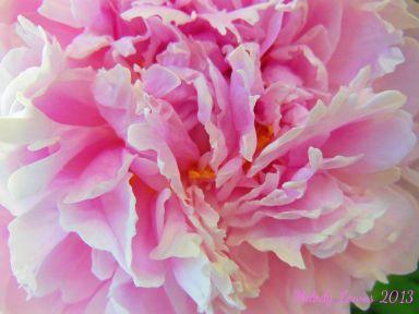 pinkpeony.jpg