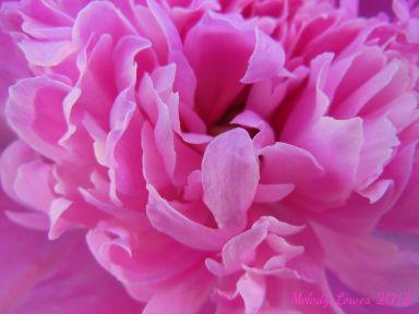 pinkpeonymacro.jpg