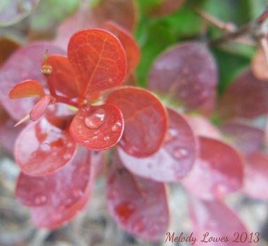 barberry-rain.jpg