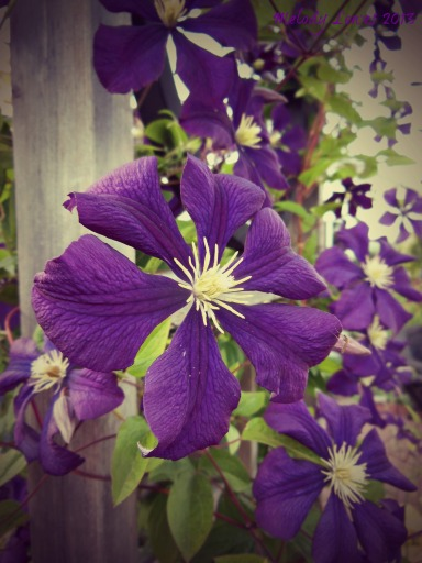 clematis blossoms