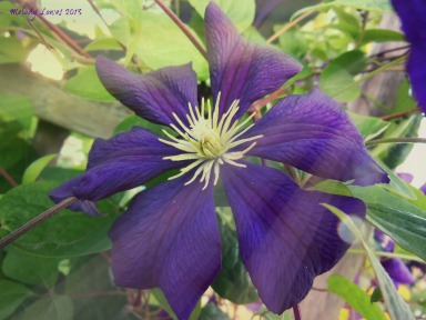 clematis radiance