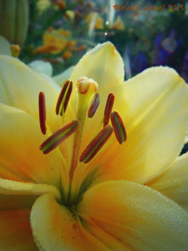Kansas lily sunlight