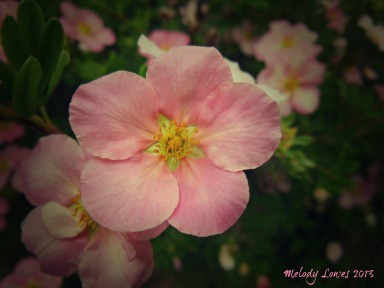 pink potentilla beauty