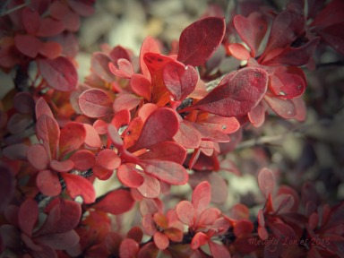 autumn barberry