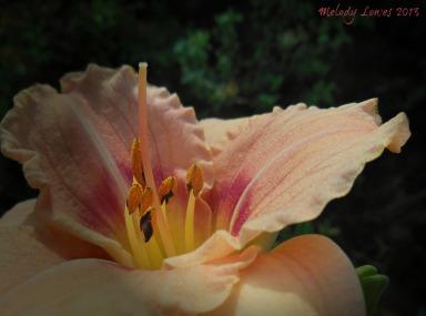 brilliant daylily