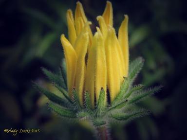 rudbeckia bud