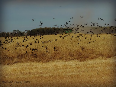 blackbird harvest