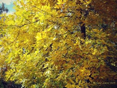 golden ash tree
