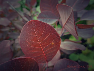 purple smokebush autumn