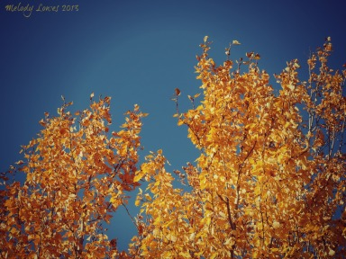 yellow aspen (1)