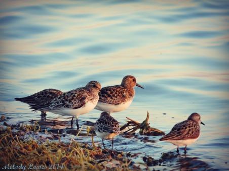 evening plovers