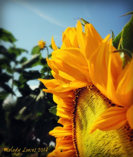 sideways sunflower