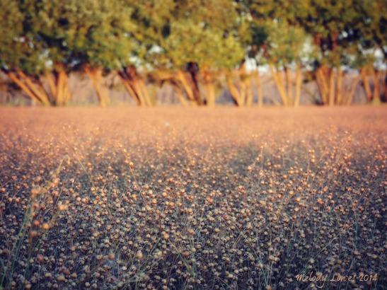 fall flax