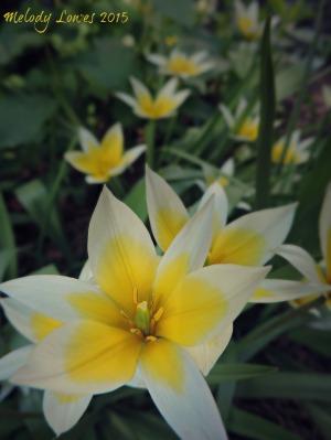tarda tulips