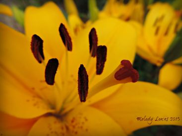 Yellow Diamond Lily