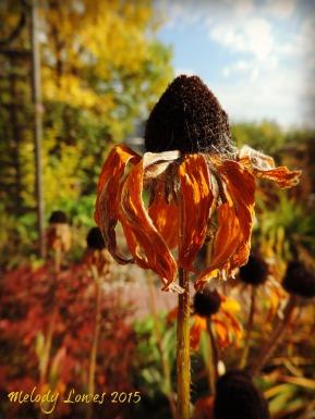 fall rudbeckia