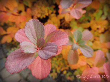 fall spirea