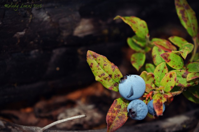 Jan Lake burnt blueberries
