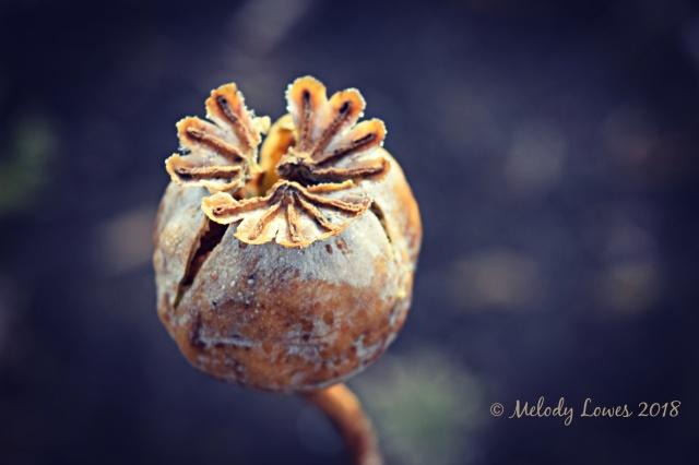 broken poppy.jpg