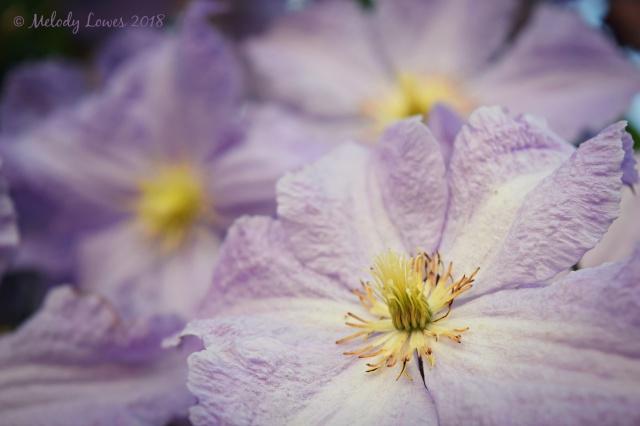 lavender clematis