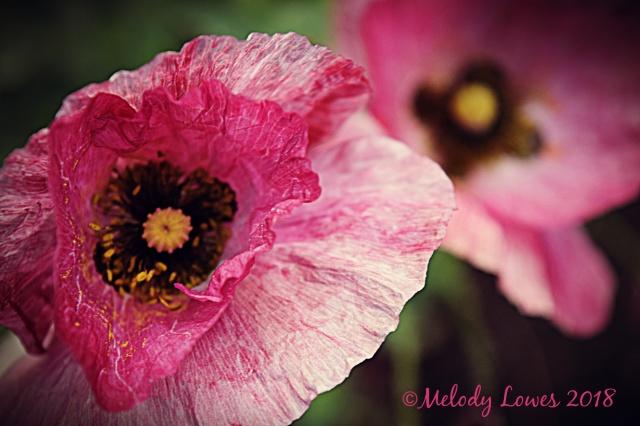crinkled poppy.jpg